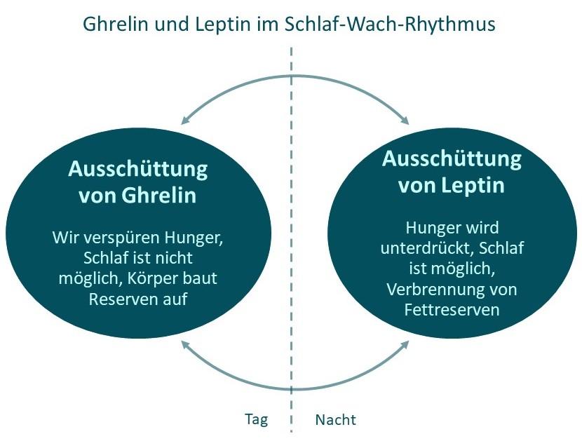 Das Bild stellt den Zusammenhang zwischen den Hormonen Ghrelin und Leptin im Schlaf-Wach-Rhythmus dar.
